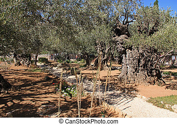 Garden of Gethsemane in Israel - Olive trees within the...