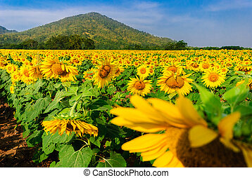 sun flowers field in Thailand