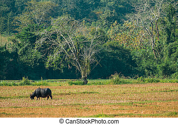 buffalo eating grass in field nan province,thailand