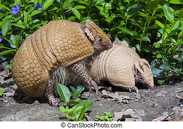 Southern three-banded armadillo (Tolypeutes matacus) mother...