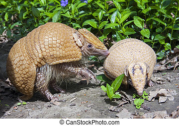Southern three-banded armadillo Tolypeutes matacus mother...