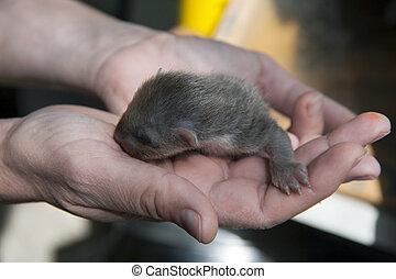 European pine marten (Martes martes) baby - Newborn European...