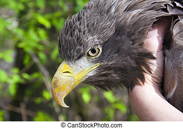White-tailed eagle Haliaeetus albicilla in hand in a...