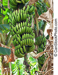 Banana plantation. Israel