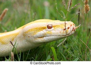 python,  Burmese, cobra
