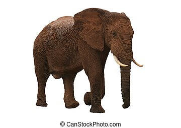 African Elephant - Large male African elephant isolated on...