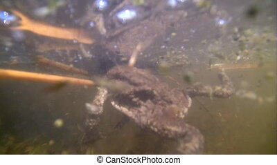 spring toad underwater in a pond - underwater shootings of a...