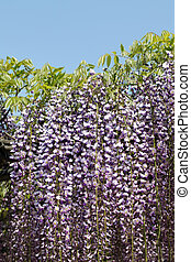 wisteria flowers - purple wisteria flowers against the clear...