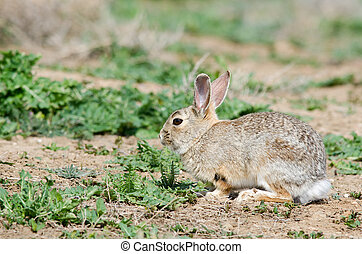 Cottontail Rabbit - Cottontail rabbit at rocky mountain...