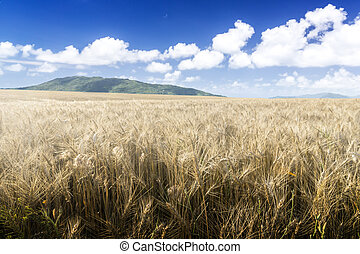 Wheat field on a Sunny day. Green mountains in the background.
