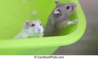 Hamsters trying to escape the pan medium shot in full HD...