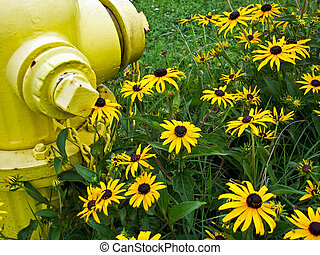 Country In Bloom - Black-eyed susans growing by fire hydrant...