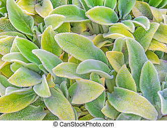 Stachys Byzatina - Closeup of lambs ear