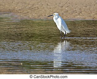 Little egret reflected in tidal pool - A little egret stalks...