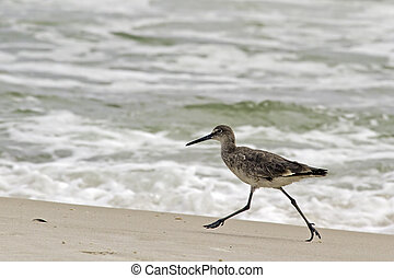 Willet Runs on Beach - A willet, type of sandpiper bird,...