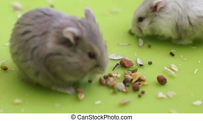 Hamsters eating  - 2 cute hamsters eating seeds