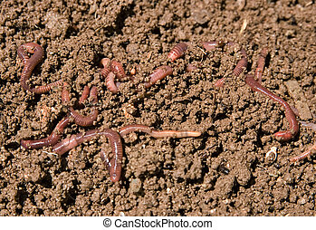 composting garden worms - composting or garden worms in the...