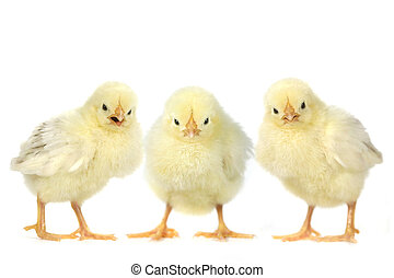 Angry Baby Chicks on White Background - Three Angry Baby...