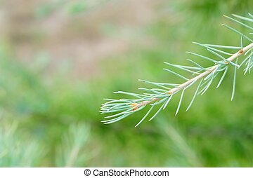 Himalayan Cedar Shoot - Growing tip of Himalayan Cedar...