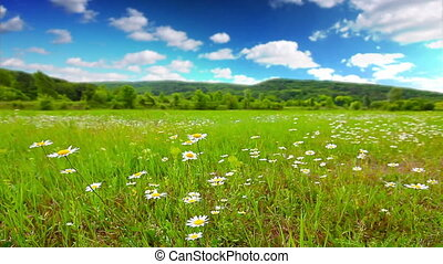 field of daisies and cloudy sky. timelapse.
