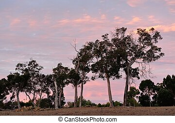 Redgum Pink Sky - grove of australian redgums under delicate...