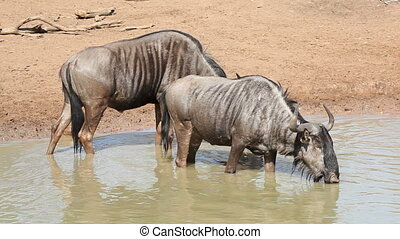 Blue wildebeest drinking - Two blue wildebeest (Connochaetes...