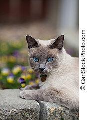 Siamese in The Garden - A purebred, Lilac point Siamese...