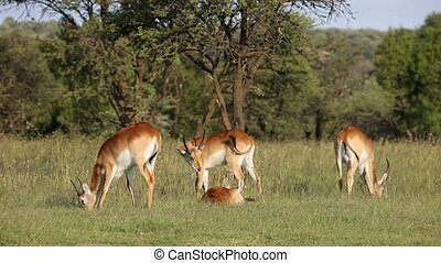 Grazing red lechwe antelopes - Two male red lechwe antelopes...