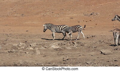 Plains zebras walking Plains (Burchells) zebras (Equus...