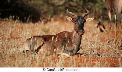 Ruminating tsessebe antelope - Tsessebe antelope Damaliscus...