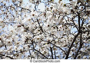 Florecer,  Acacia
