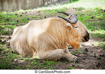Golden takin Budorcas taxicolor bedfordi resting on the...
