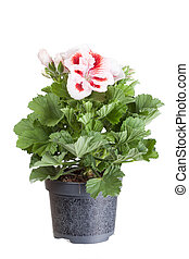 Blossoming geranium in a flowerpot on a white background