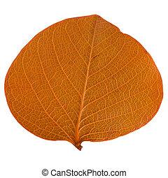 Autumn leaf isolated on white background.