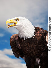 Bald Eagle - A Bald Eagle against a cloudy sky.