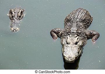 crocodile swimming