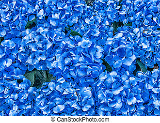 Hydrangea Flowers Background - Photo oh blue hydrangea...
