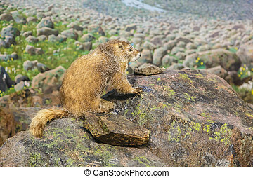 Marmot on a Rock - A marmot on a large stone by a meadow