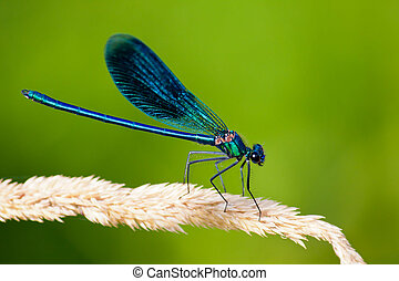 Common Blue Damselfly on the grass - Background can use the...