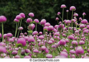 Globe Amaranth - Globe amaranth or Gomphrena globosa Photo...