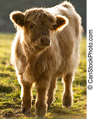 Calf - Highland cattle calf in evening light