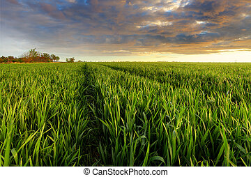 Green wheat field at sunset with sun