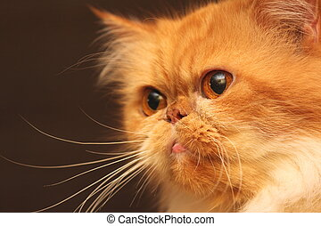 Portrait of a beautiful orange Persian cat close up on a...