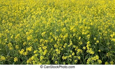 Agriculture, canola plant in field - Oil rape, canola in...