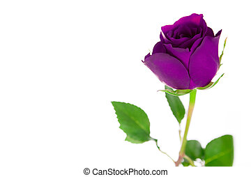 A single purple rose on a white background