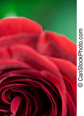 A close up of a single red rose