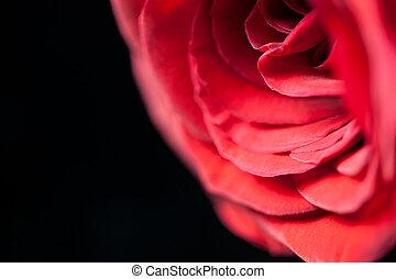 Un, cierre, Arriba, solo, rojo, rosa