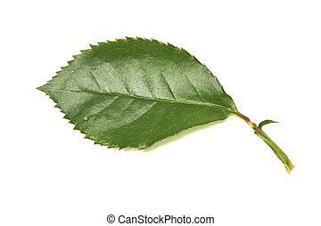 Rose Leaves - A collection of rose leaves on a white...