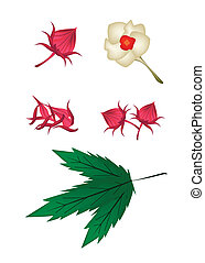 Parts of Hibiscus Sabdariffa or Roselle Plant - Food and...
