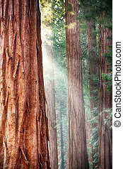 Redwoods, Yosemite - Early morning sunlight in the Sequoias...